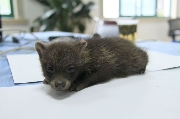 Baby raccoon mistaken for bear cub