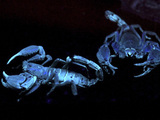 A pair of Asian Black Forest Scorpions glow under ultra-violet light in their enclosure at the Night Safari, part of the Singapore Zoo