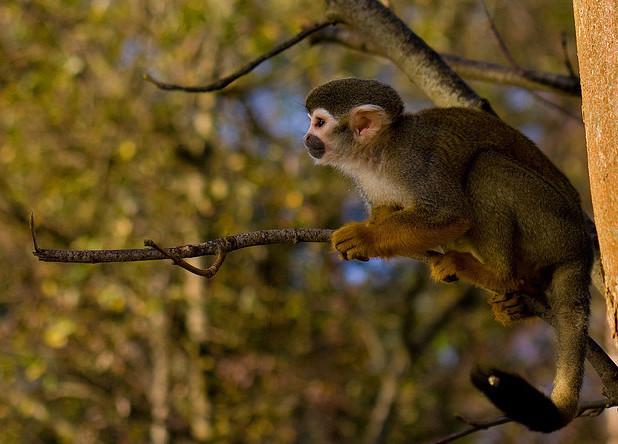 Herr Nilsson Monkey