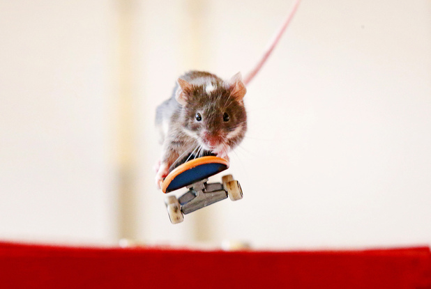 Pet mouse performs tricks on a skateboard