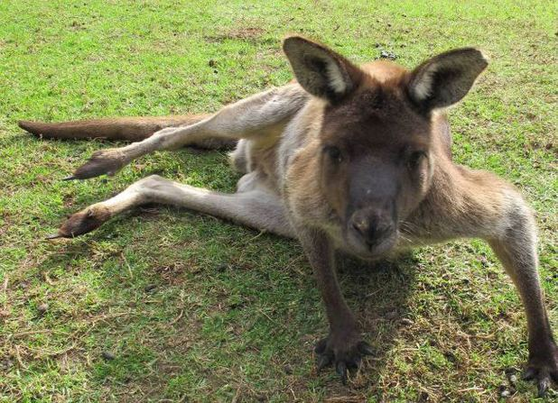 Big Baz the kangaroo
