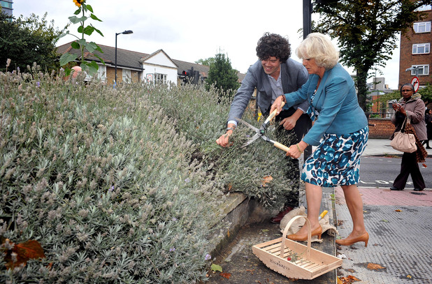 The Duchess of Cornwall helps guerrilla gardener Richard Reynolds harvest lavender on a roundabout in central London as part of a tour of urban gardens. Picture date: Tuesday September 6, 2011. Photo credit should read: Ian Nicholson/PA Wire