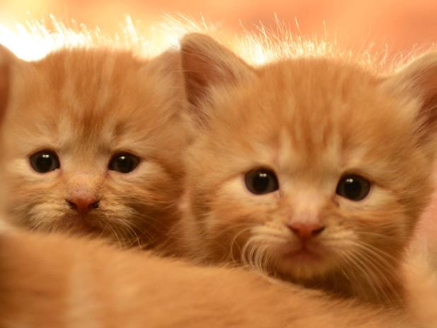 kitten reaction to vaccination