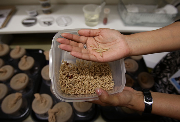 Embargoed to 0001 Thursday August 8. Kings MSc Student Poulomi Bhadra, holds a tub of maggots in the Insectory lab, where her research project has sought to explore the importance of forensic entomology within murder investigations, during a Metropolitan Police Service event at the Natural History Museum, London.