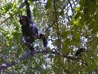 Google Maps goes in the wild with chimpanzees in Tanzania