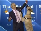 A rescue dog causes chaos during a Global Edmonton weather report.