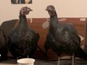 Gobblebox: Talking turkeys in festive clip